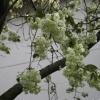 黄桜(きざくら)