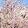 桜 八重桜