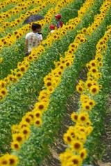 向日葵の畑を行く