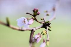 桜 習作3