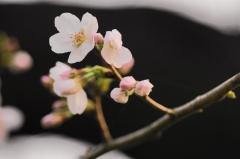 桜 習作2
