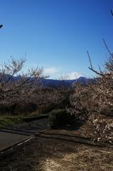 曽我 中河原の梅林と富士