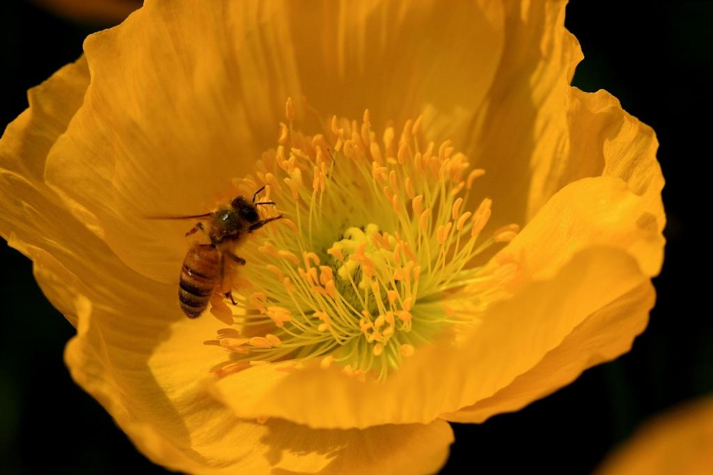 ポピーとミツバチ