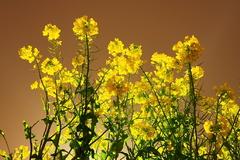 菜の花の舞