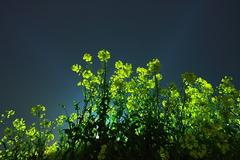 青い菜の花