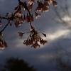 暁の空と桜