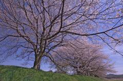 桜からの誘い