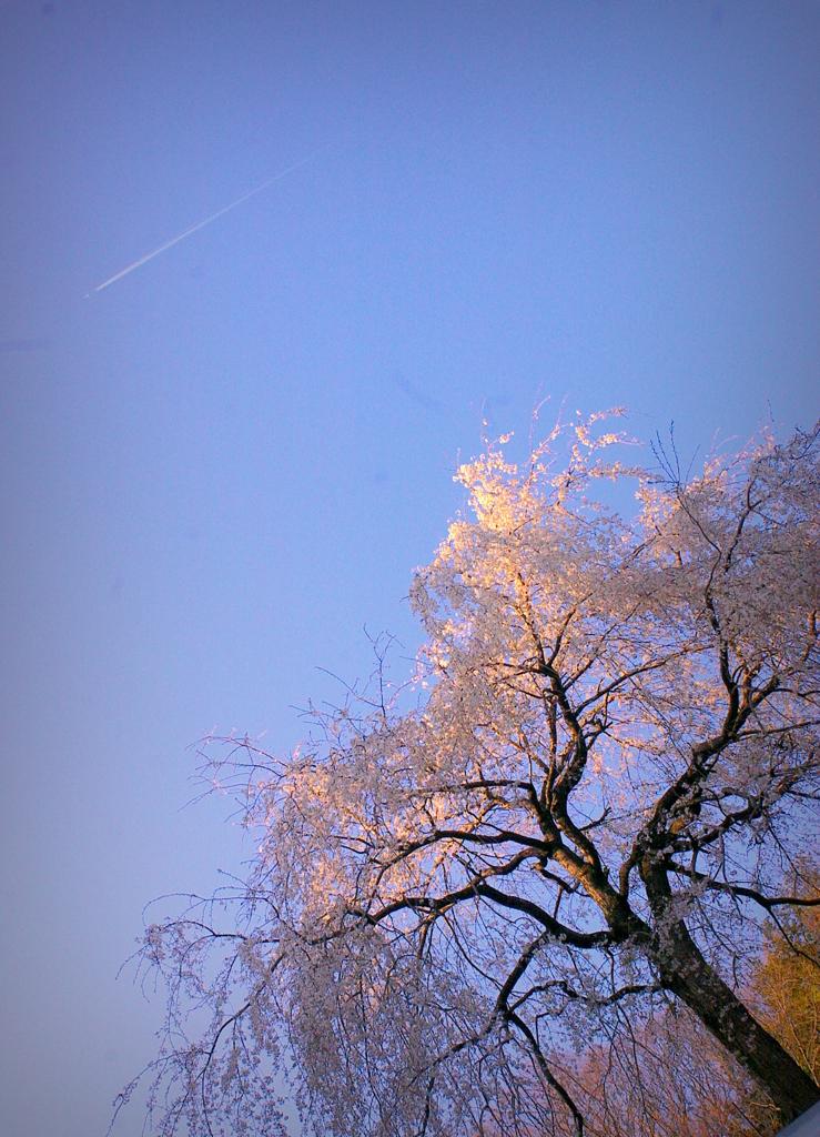 長興山のしだれ桜