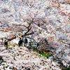 桜に包まれ