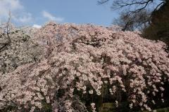京都御苑 桜1