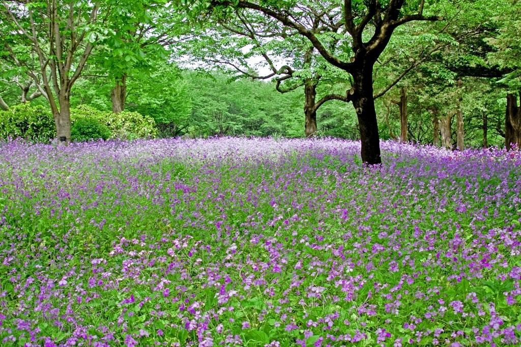 花畑(紫)