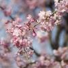 桜shot
