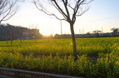 菜の花と朝日