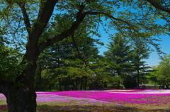 芝桜を背景に-4