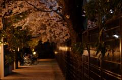 夜桜 タムキュー
