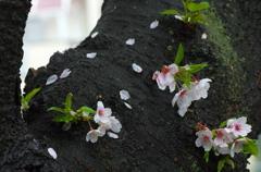 先にいく花、咲きを楽しむ桜