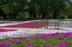 芝桜とベンチ