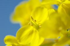 菜の花トロトロ