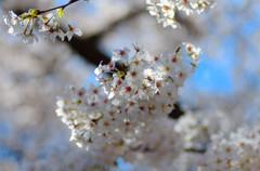 2014満開の桜