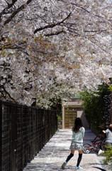 散りゆく桜に戯れる