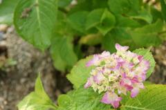 雨あがりの紫陽花
