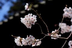 満願寺の桜