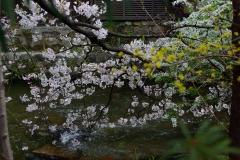 川^と^桜