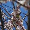 桜○リングに^^メジロが