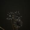 タンポポ^と^枯れ花