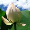 空^^蓮の花