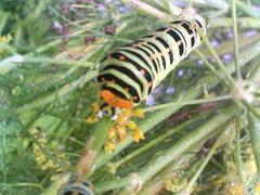 キアゲハの幼虫 その2 20080804