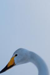 Swan Up