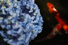 紫陽花と鯉