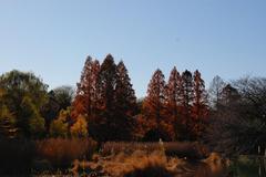 善福寺公園の紅葉1
