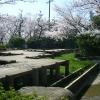 桃山公園の桜