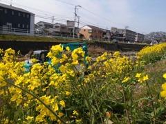 菜の花とショベルカー