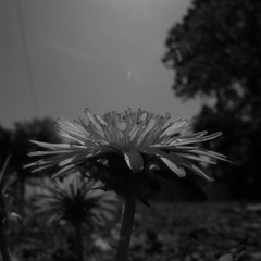 モノクロの花