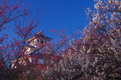 梅と長浜城(弐)