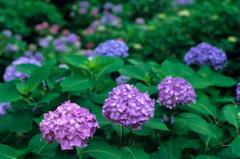 三室戸寺の紫陽花 (ポジ)