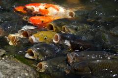 リアル鯉のぼり