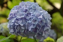 2年前の紫陽花(参考)