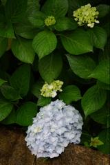 低い紫陽花