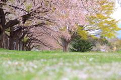 花散った桜並木