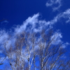 枯れ木に雲