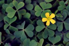 幸せと希望の花