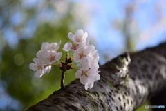 桜 見上げて