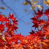 秋晴れ紅葉