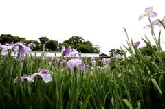 長崎_大村の菖蒲園