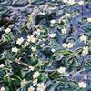 醒ヶ井の梅花藻(バイカモ)