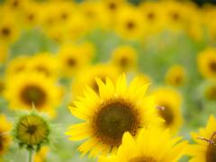 向日葵の夏